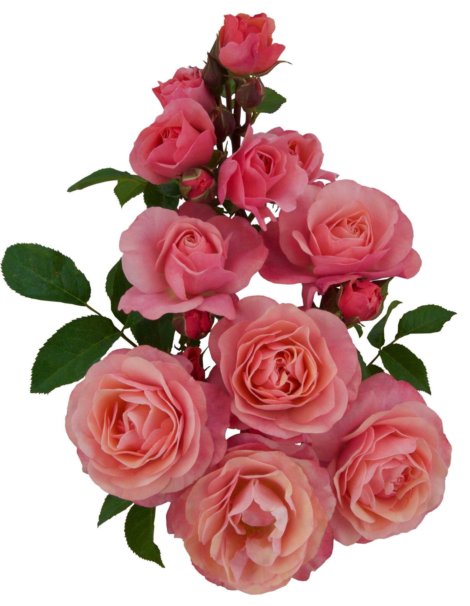Lovely Romanza®