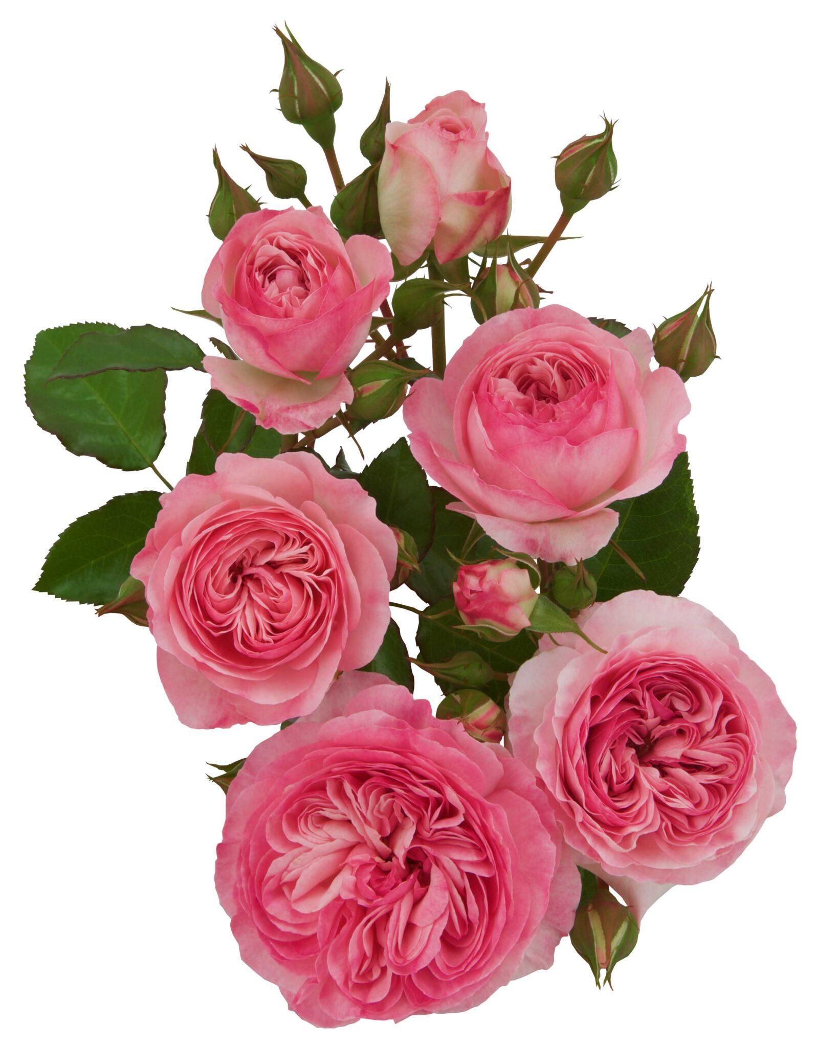 Pink Romanza®