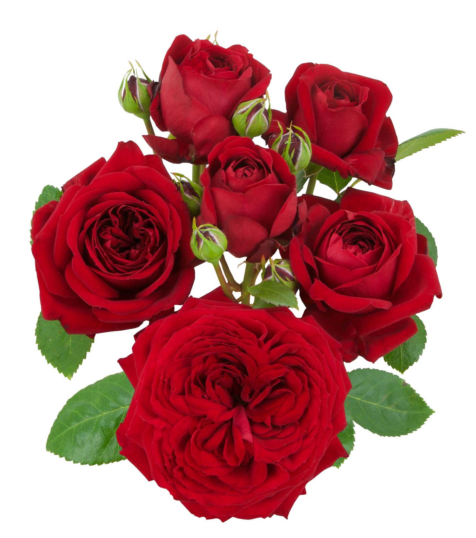 Red Romanza®