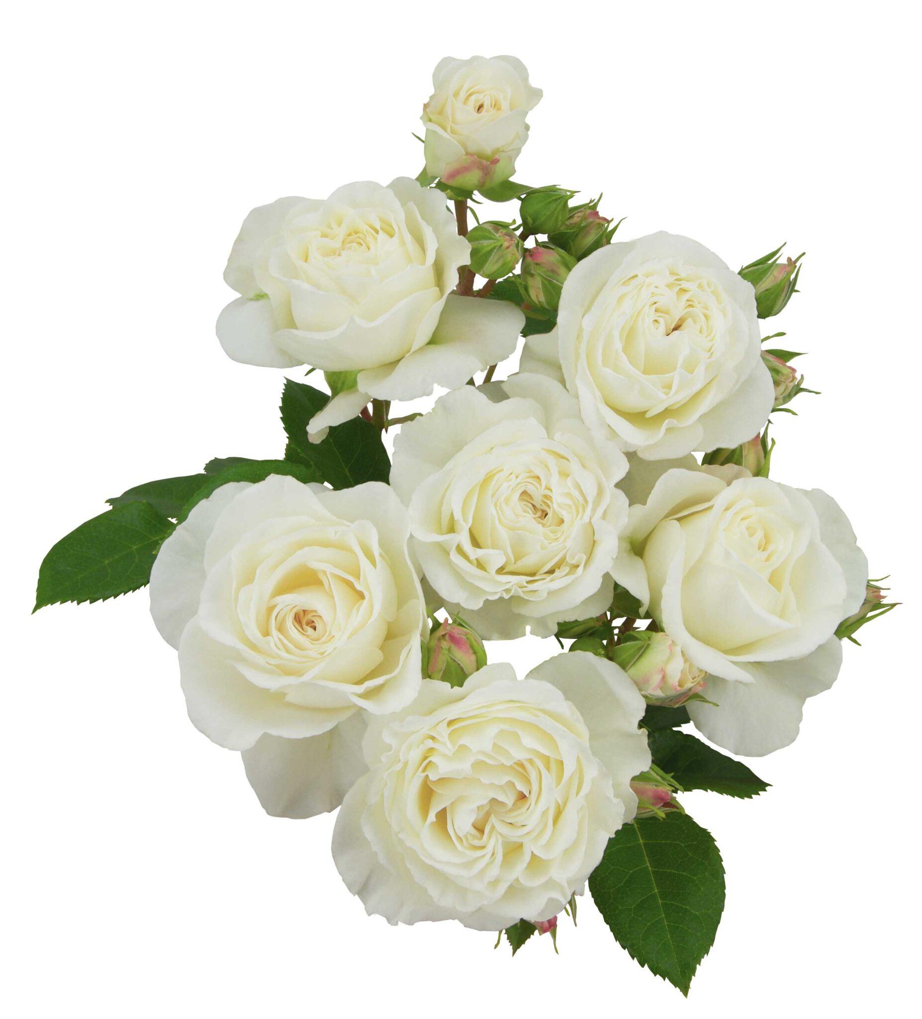 White Romanza®