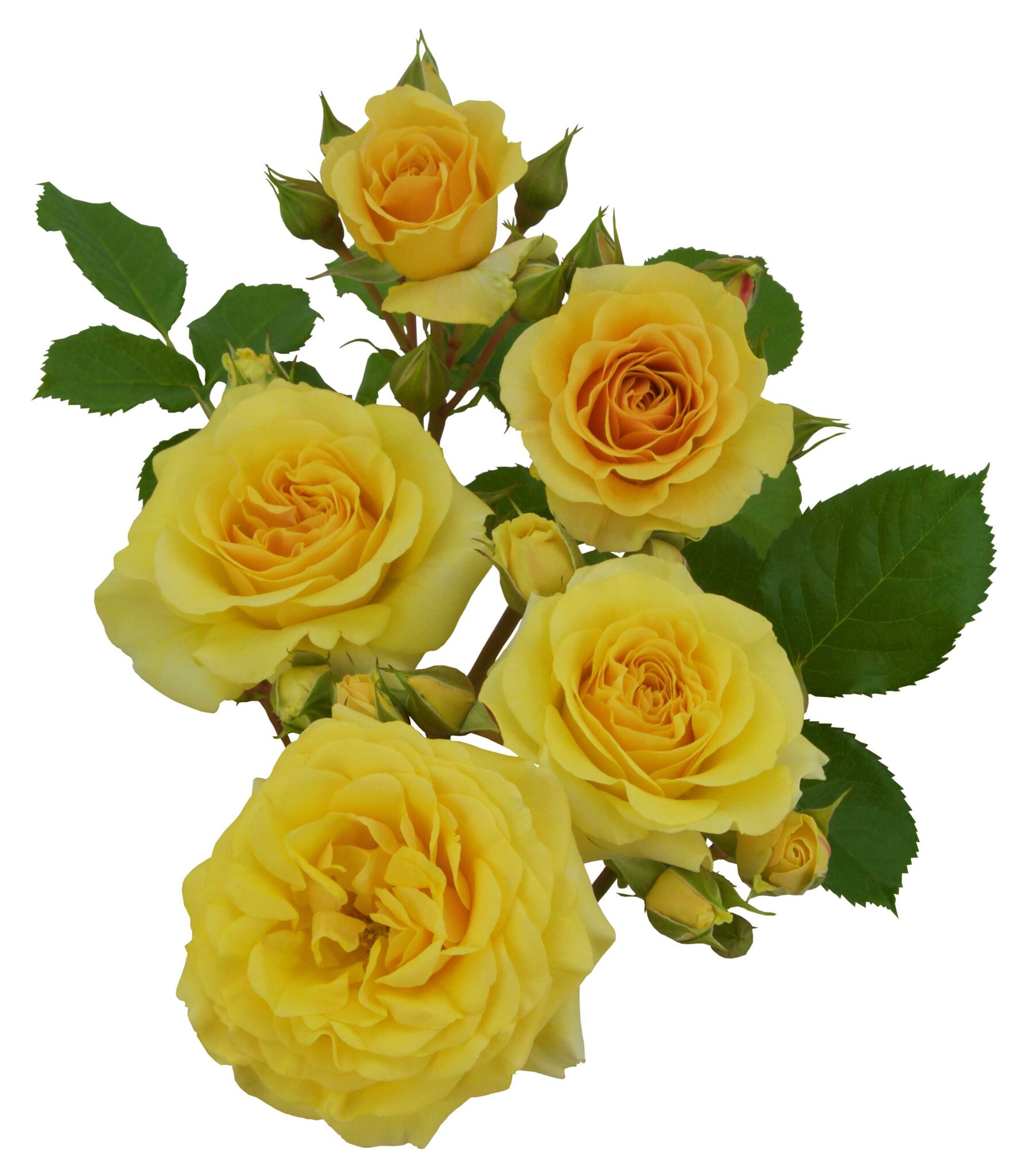 Yellow Romanza®