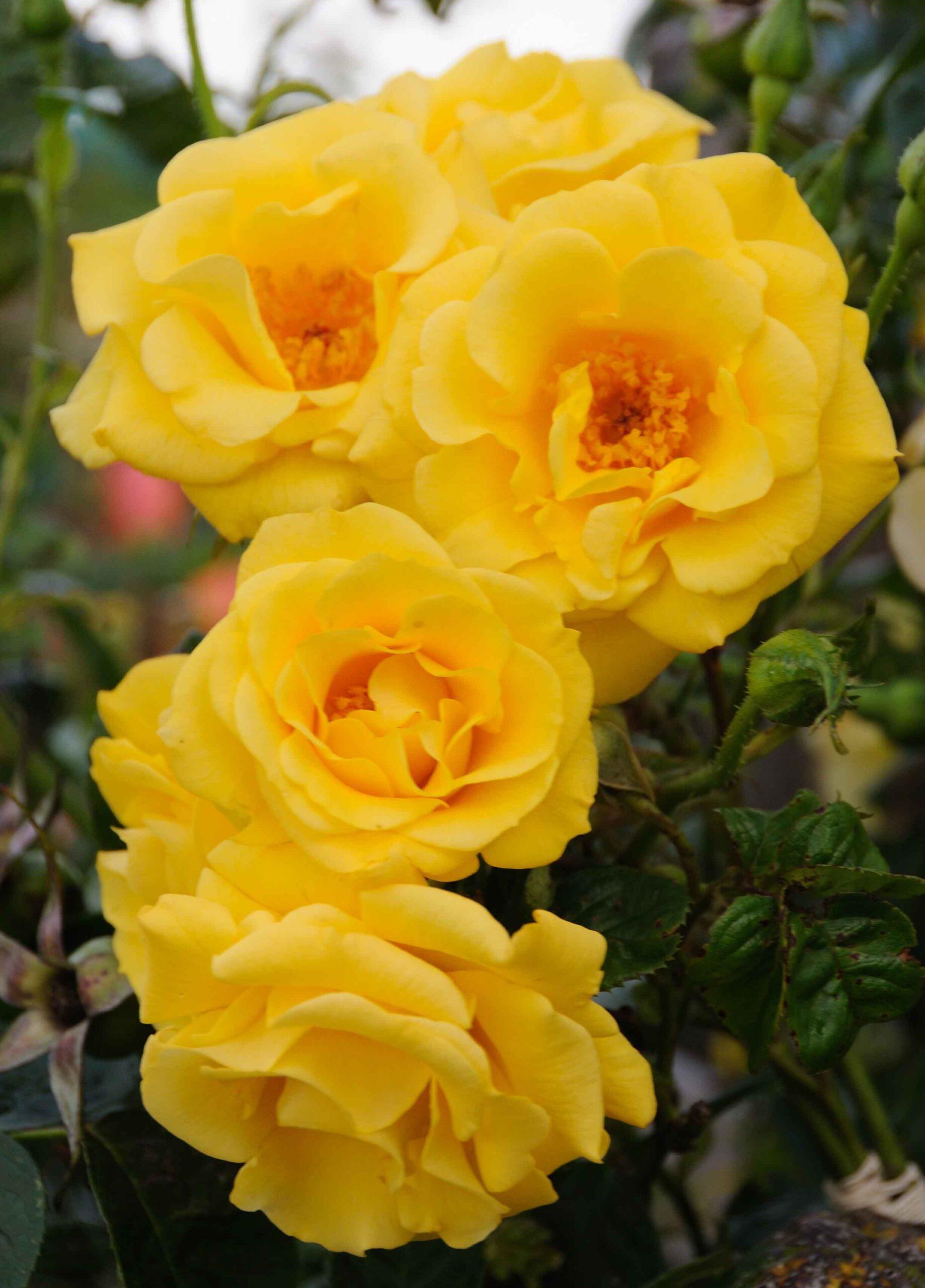 Gardener's Glory®