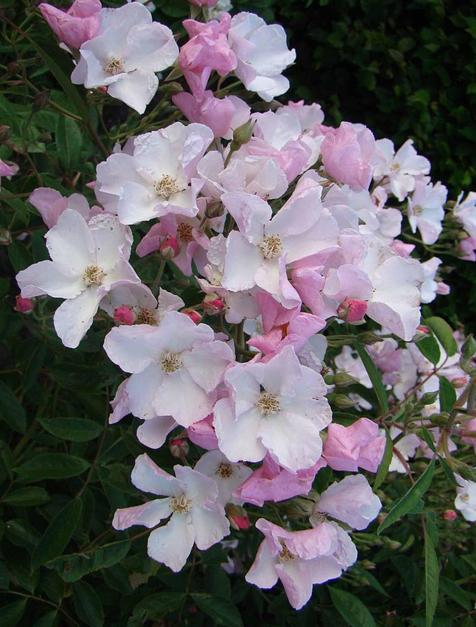 Diamont Rose®