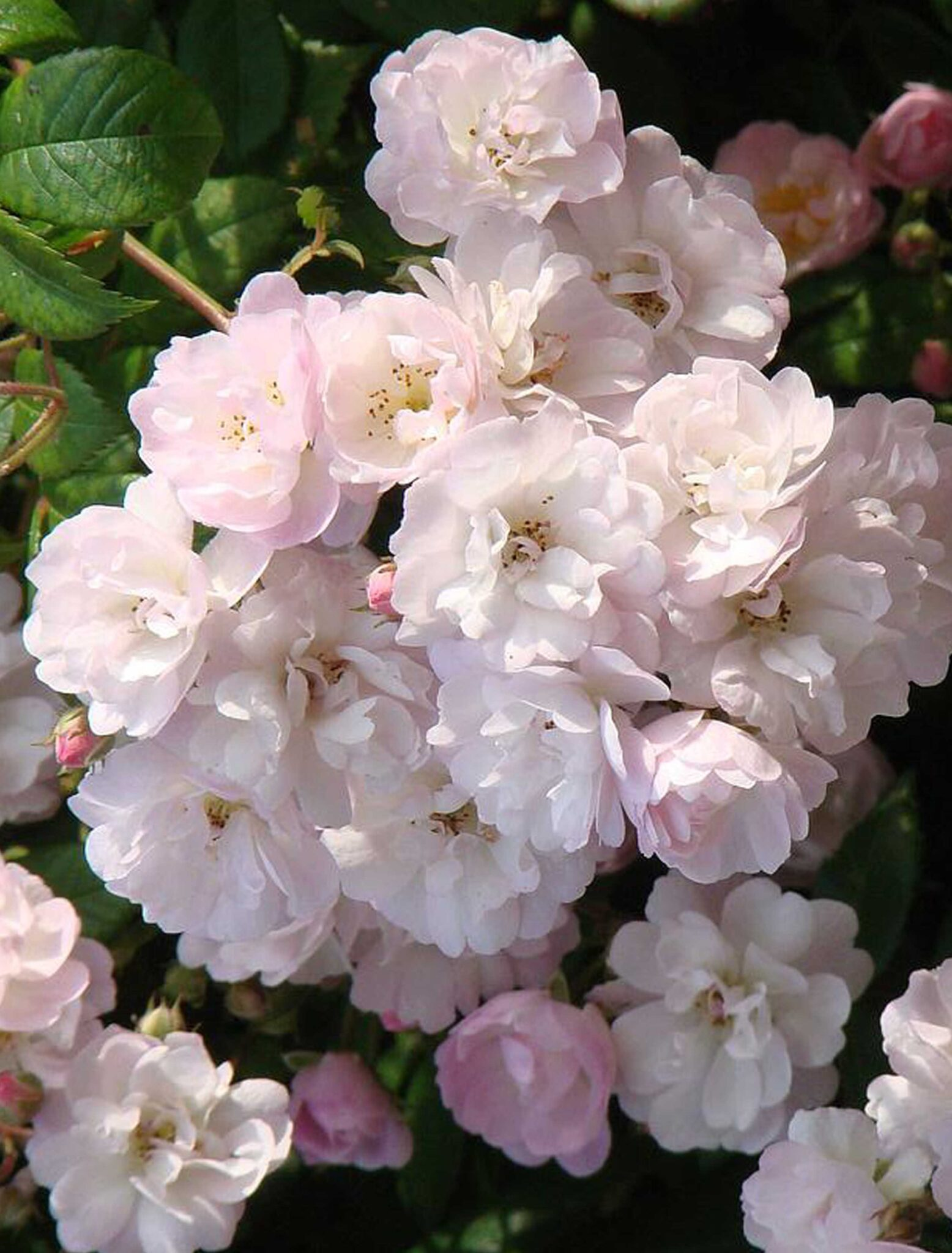 Guirlande Rose®