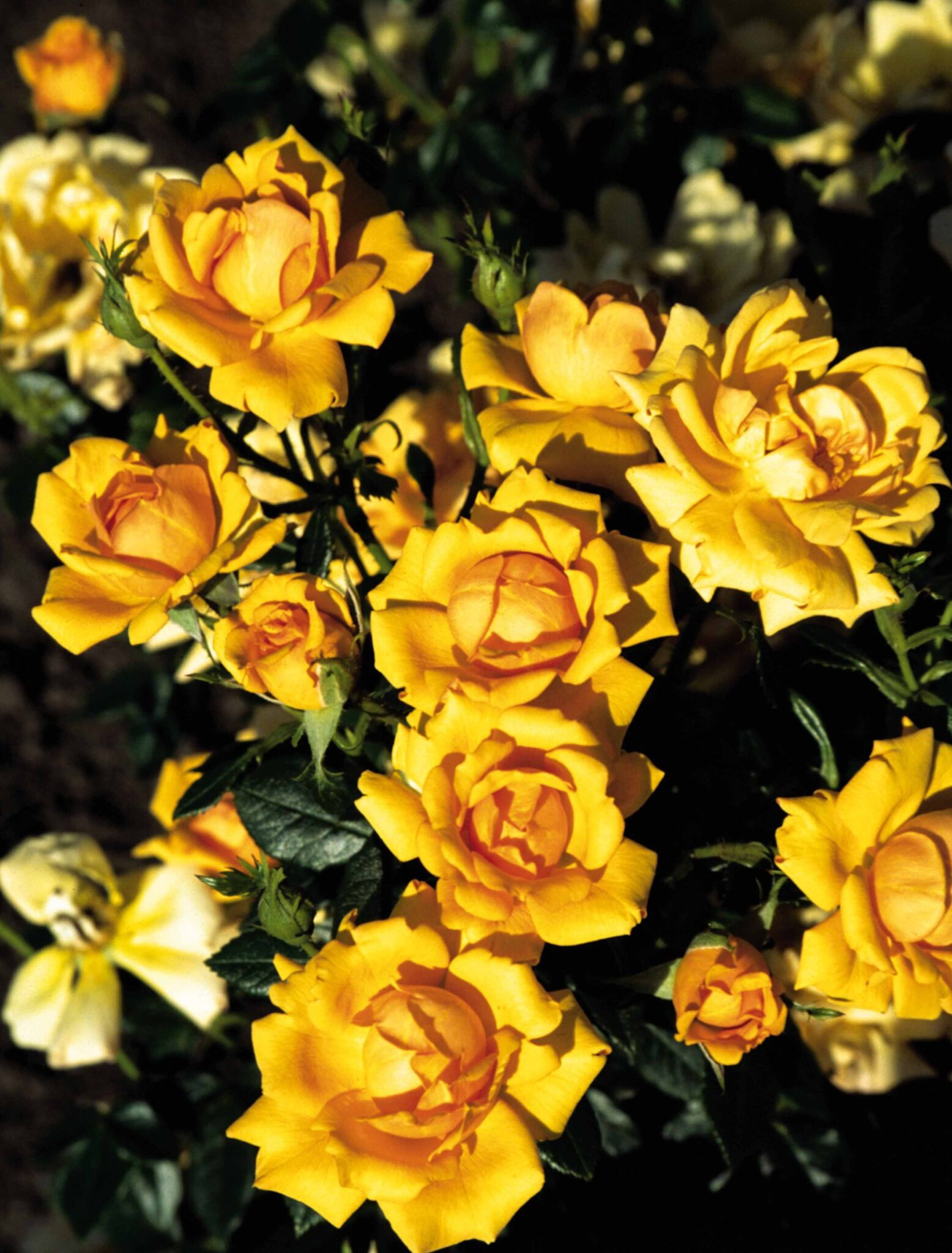 Amber Nectar®