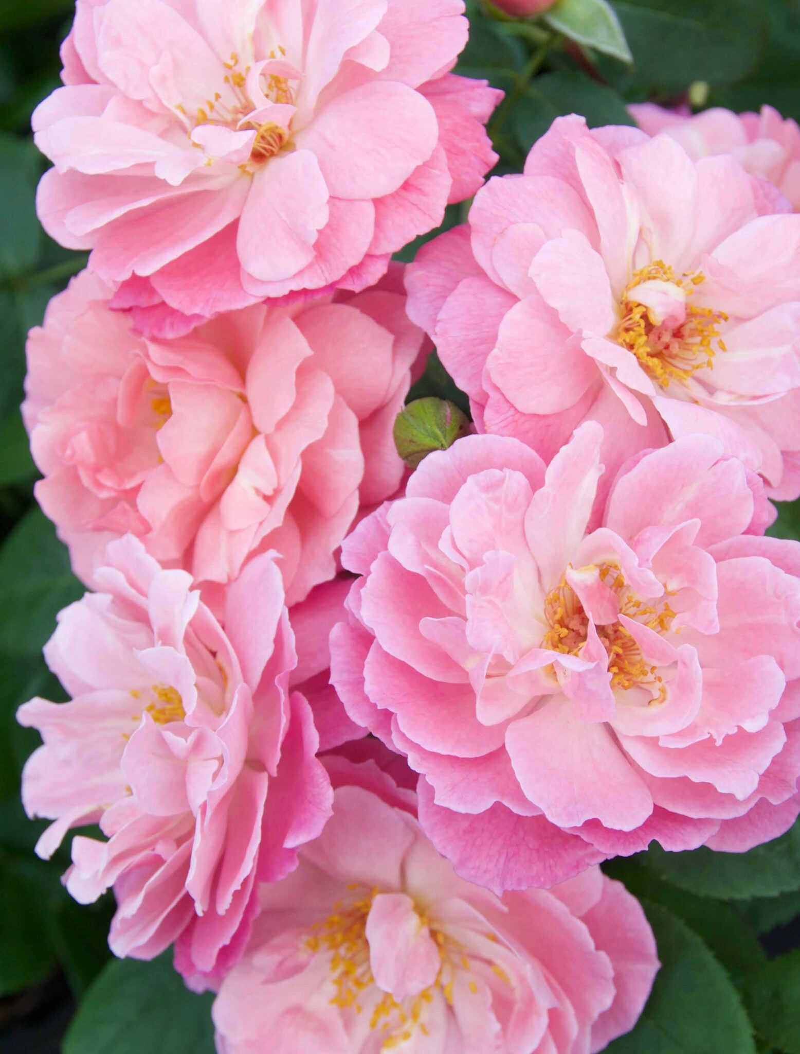 Climbing Favor Pink®