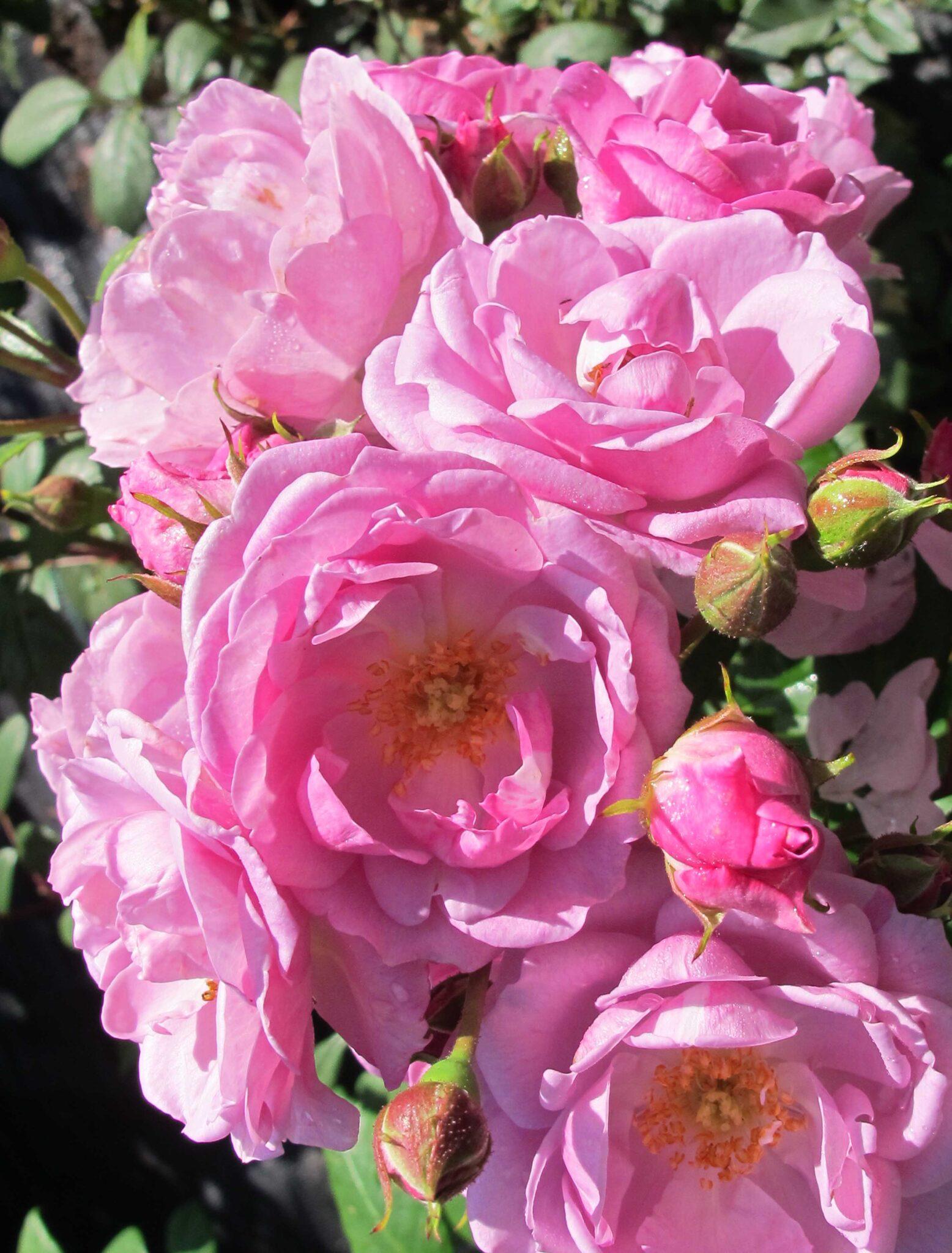 Lilac Bouquet®