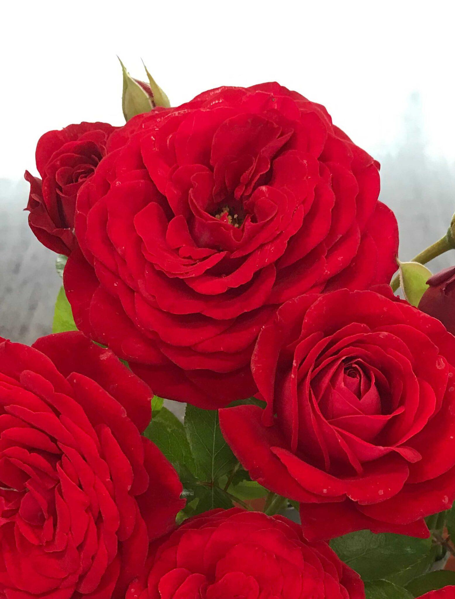 Red Flower Village®