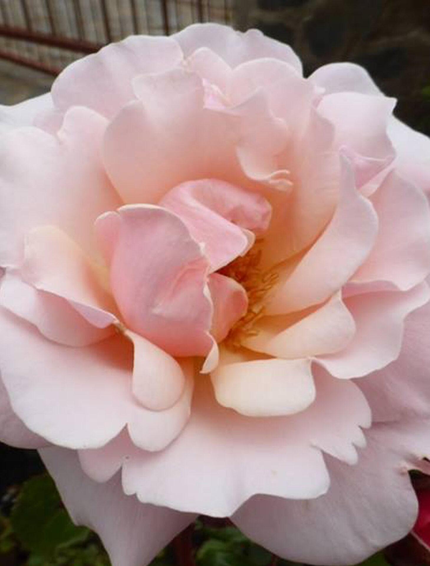Valentine Heart®